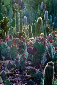 cactus-nopoo